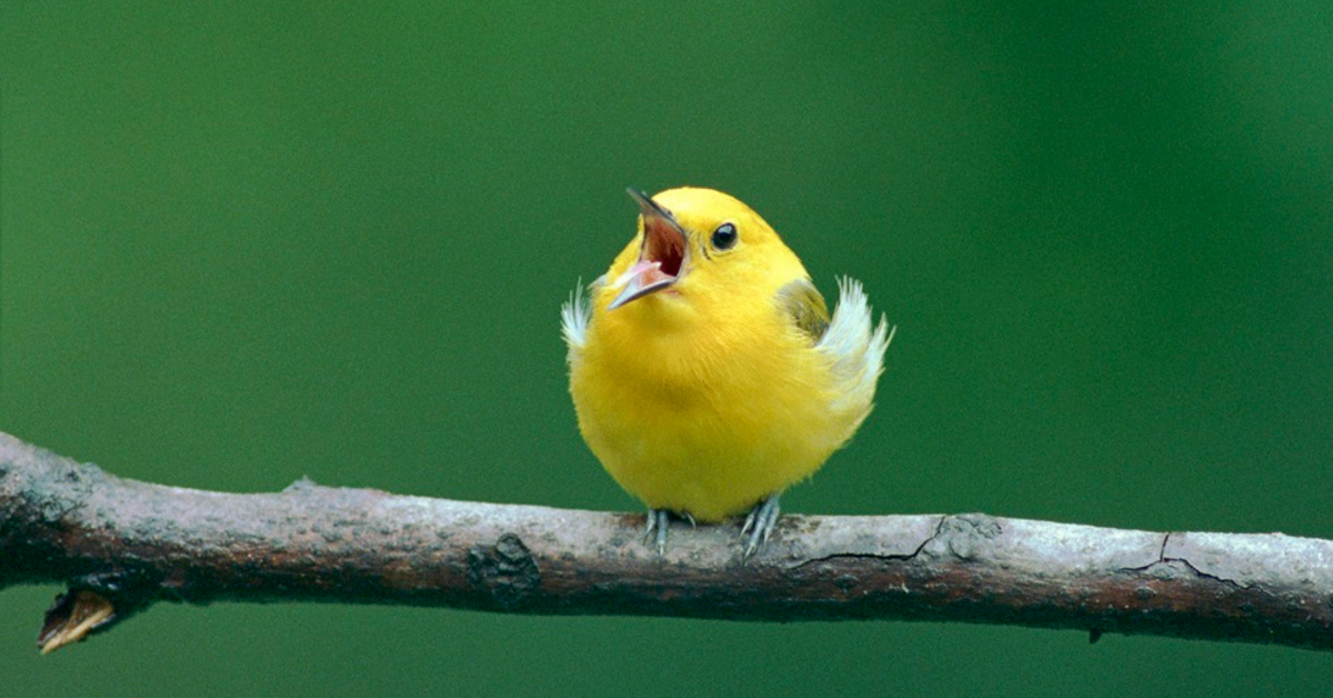 Yellow Bird Singing